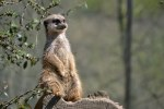 meerkat-1516841__340